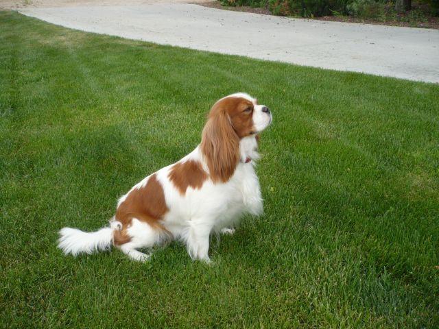 Cavalier puppies Idaho